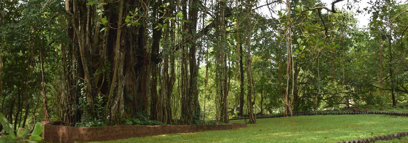 Baniyan Tree
