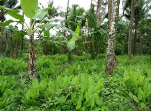 Mixed plantation crop of turmeric banana and coconuts